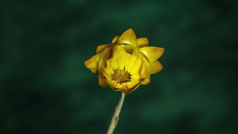 Lapso-De-Tiempo-De-Una-Hermosa-Flor-Amarilla-Girasol-Floreciendo