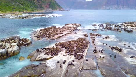 Drone-aerial-over-massive-seal-colony-on-a-small-island-off-the-coast-of-South-Africa-1