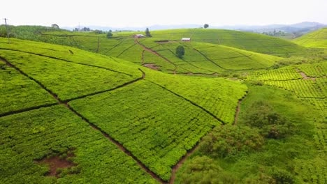 Aerial-over-a-tea-plantation-and-green-agriculture-in-Uganda-Africa