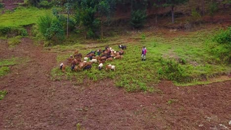 Aerial-approaching-an-African-farmer-or-shepherd-and-his-goats-Uganda