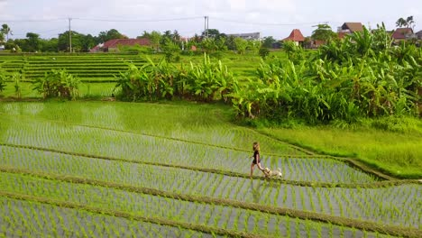Aerial-of-a-young-girl-running-with-her-dogs-through-the-rice-paddies-of-Bali-Indonesia