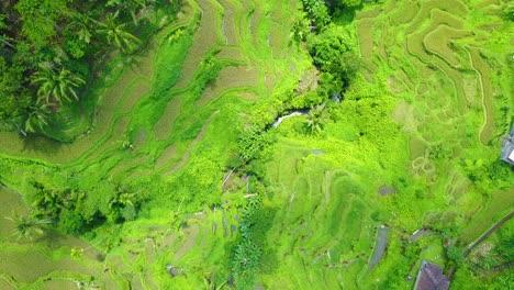 Aerial-looking-straight-down-over-vast-terraced-rice-paddies-near-Ubud-Bali-Indonesia