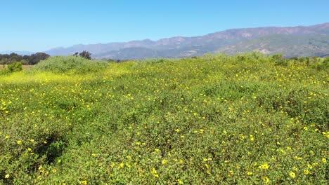 Schöne-Sehr-Niedrige-Bewegte-Aufnahme-Durch-Felder-Mit-Gelben-Wildblumen-4