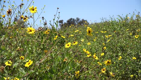 Pan-Across-A-Field-Of-California-Wildflowers-With-Honey-Bees-And-Yellow-Flowers-In-Abundance-In-Spring