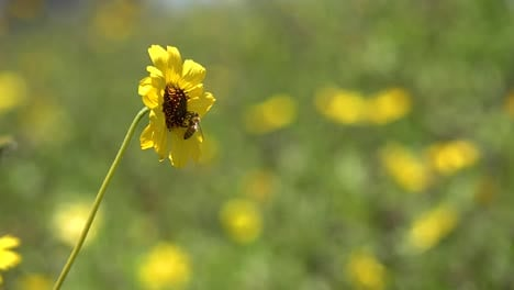 Extreme-Close-Up-Of-A-Bee-Honeybee-Landing-On-A-Yellow-Wildflower-To-Pollenate-It-1