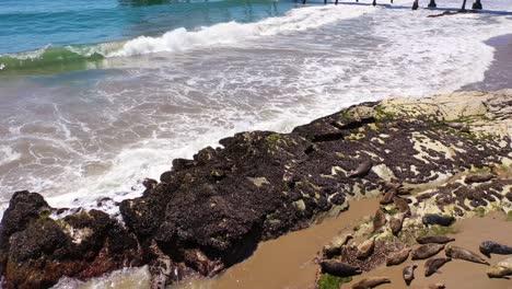 Aerial-Seals-Bask-In-A-Rookery-On-The-Beach-Near-Carpinteria-Bluffs-Santa-Barbara-California-1