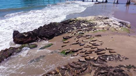 Aerial-Seals-Pelicans-Bask-In-A-Rookery-On-The-Beach-Near-Carpinteria-Bluffs-Santa-Barbara-California-1