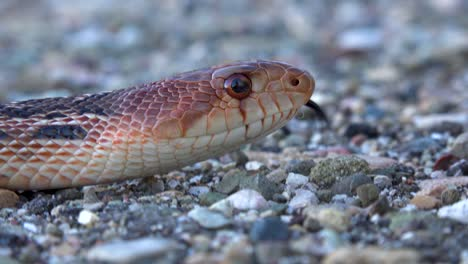 A-Gopher-Snake-With-Tongue-Flicking-In-Extreme-Close-Up