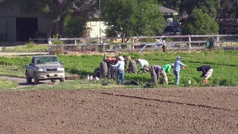 Mexican-Farm-Workers-Work-In-A-Small-Field-On-A-Local-Organic-Farm-In-Santa-Ynez-California-1
