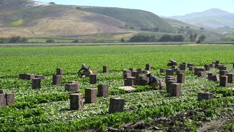 Immigrant-Migrant-Mexican-Farm-Labor-And-Farm-Workers-Pick-And-Box-Crops-On-A-Farm-In-Santa-Ynez-Valley-California