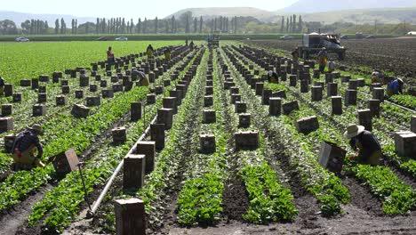 Immigrant-Migrant-Mexican-Farm-Labor-And-Farm-Workers-Pick-And-Box-Crops-On-A-Farm-In-Santa-Ynez-Valley-California-5
