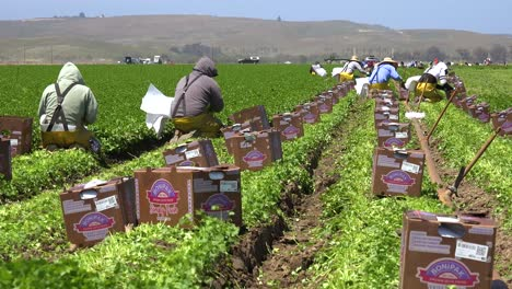 Migrant-Mexican-And-Hispanic-Farm-Workers-Labor-In-Agricultural-Fields-Picking-Crops-Vegetables-4