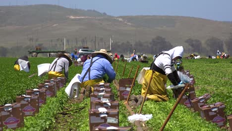 Migrant-Mexican-And-Hispanic-Farm-Workers-Labor-In-Agricultural-Fields-Picking-Crops-Vegetables-5