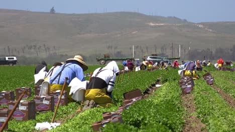 Migrant-Mexican-And-Hispanic-Farm-Workers-Labor-In-Agricultural-Fields-Picking-Crops-Vegetables-6