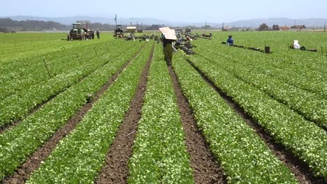 Migrant-Mexican-And-Hispanic-Farm-Workers-Labor-In-Agricultural-Fields-Picking-Crops-Vegetables-8