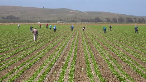 Migrant-Mexican-And-Hispanic-Farm-Workers-Labor-In-Agricultural-Fields-Picking-Crops-Vegetables-11