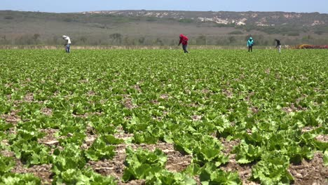 Migrant-Mexican-And-Hispanic-Farm-Workers-Labor-In-Agricultural-Fields-Picking-Crops-Vegetables-12