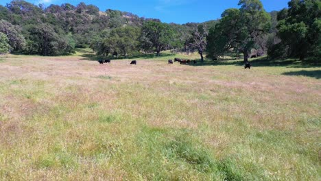 Aerial-Over-Cows-Grazing-In-A-Field-In-The-Foothills-Of-Central-California
