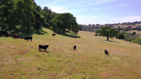 Aerial-Over-Cows-Grazing-In-A-Field-In-The-Foothills-Of-Central-California-1