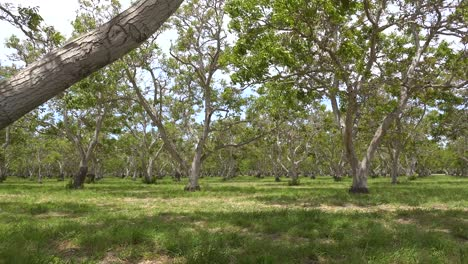 Pan-Across-A-Walnut-Orchard-At-An-Agriculture-Farm-In-Central-California