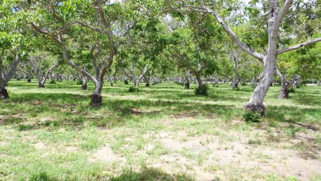 Aerial-Through-A-Walnut-Grove-Of-Trees-On-A-Ranch-Or-Farm-In-Lompoc-Central-California-1
