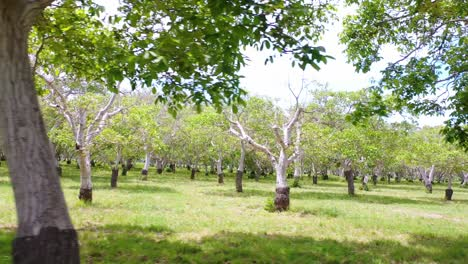 Aerial-Through-A-Walnut-Grove-Of-Trees-On-A-Ranch-Or-Farm-In-Lompoc-Central-California-2