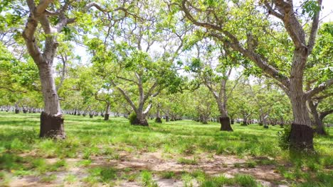 Aerial-Through-A-Walnut-Grove-Of-Trees-On-A-Ranch-Or-Farm-In-Lompoc-Central-California-3