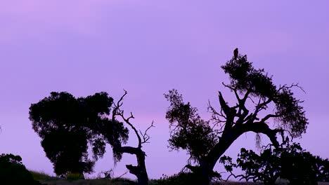Un-Halcón-En-Un-árbol-Contra-El-Cielo-Púrpura-Al-Atardecer-Con-árboles-Silhoutted-En-Esta-Hermosa-Vista-De-La-Naturaleza-De-California-Central