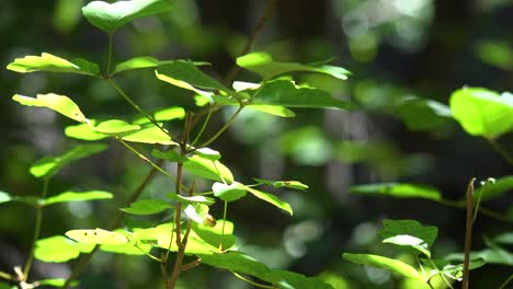 Green-Leaves-Shine-In-The-Sun-In-A-Warm-Forest-In-The-Santa-Ynez-Mountains-Of-California