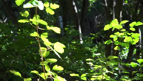 Green-Leaves-Shine-In-The-Sun-In-A-Warm-Forest-In-The-Santa-Ynez-Mountains-Of-California-1