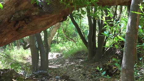 A-Man-And-His-Dog-Hike-On-Trail-Through-Forest-In-The-Santa-Ynez-Mountains-Of-Santa-Barbara-California