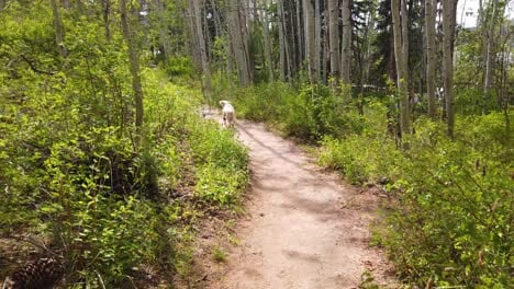 Three-Dogs-Run-Down-A-Mountain-Trail-In-A-Forest-In-Slow-Motion-Having-Fun-And-Playing