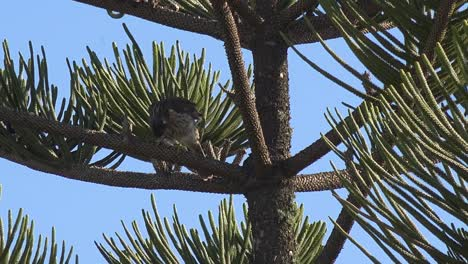 A-Juvenile-Young-Cooper-S-Hawk-Sits-In-A-Norfolk-Pine-Tree-Fanning-Feathers