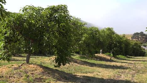 Pan-Across-Avocado-Farm-Orchard-On-The-Coast-Of-California-Near-Santa-Barbara