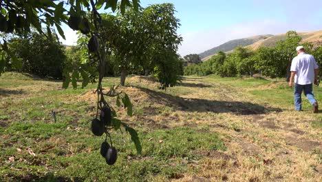 Pan-Across-Avocado-Farm-Orchard-On-The-Coast-Of-California-Near-Santa-Barbara-With-Farmer