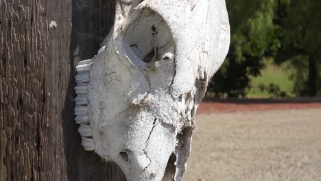 A-Cow-Skull-Hung-On-A-Post-At-A-Dude-Ranch-In-The-Santa-Ynez-Mountains-Ranching-Farm