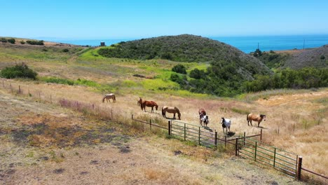 Aerial-Of-Horses-Grazing-On-A-Ranch-Or-Farm-With-Ocean-Background-Near-Santa-Barbara-California-2