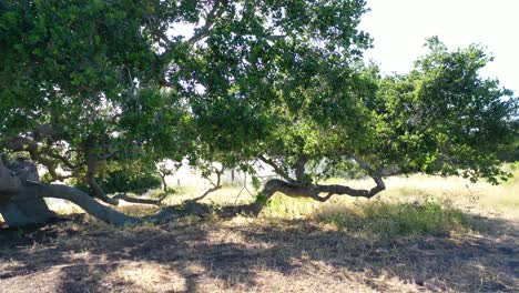 Aerial-Of-An-Old-Oak-Tree-Growing-On-A-Ranch-In-Santa-Barbara-California