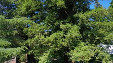 Rising-Aerial-Of-A-Man-Looking-Up-At-Very-Tall-Redwood-Trees-On-His-Property