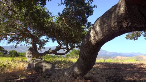 An-Old-Oak-Tree-Growing-Along-The-Ground-On-A-Ranch-In-Santa-Barbara-California