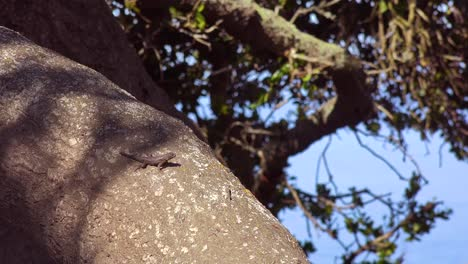 A-Lizard-Enjoys-The-Sunshine-On-An-Old-Oak-Tree-In-Central-California