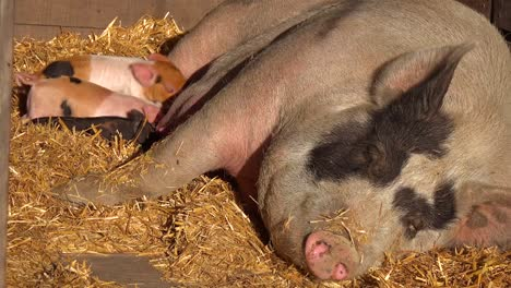 Baby-Piglets-Nurse-Milk-From-A-Mother-Pig-In-This-Cute-Animal-Barnyard-Scene