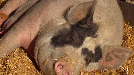 Baby-Piglets-Nurse-Milk-From-A-Mother-Pig-Breast-In-This-Cute-Animal-Barnyard-Scene-1