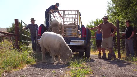 Ranchers-Unload-Sheep-From-The-Back-Of-A-Pickup-Truck-In-This-Classic-Ranching-Shot