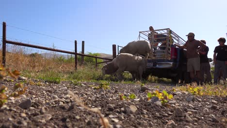 Ranchers-Unload-Sheep-From-The-Back-Of-A-Pickup-Truck-In-This-Classic-Ranching-Shot-1