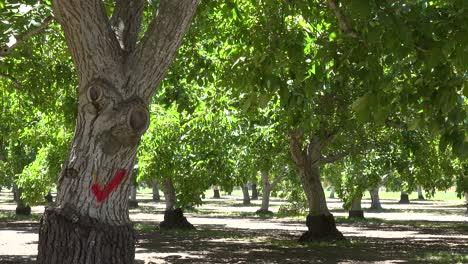 Trees-In-A-California-Walnut-Orchard-Blow-In-The-Wind-Near-Lompoc-Santa-Barbara-County