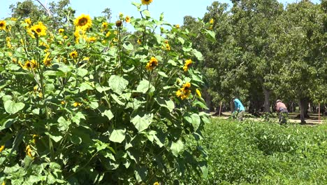 Immigrant-Farm-Workers-Work-In-A-Sunflower-Field-In-Lompoc-California
