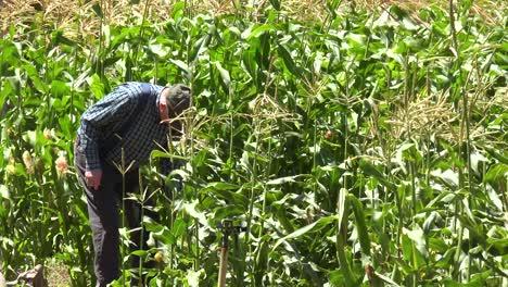 An-Elderly-Farmer-Picks-Corn-In-His-Field-Near-Lompoc-California