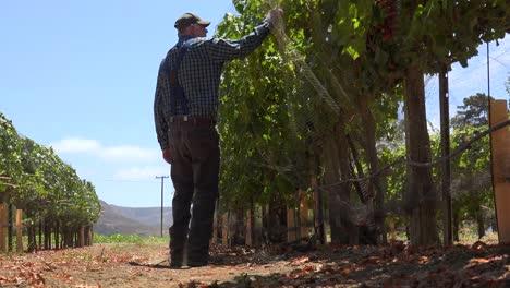 An-Elderly-Farmer-Inspects-His-Grape-Vines-In-A-Vineyard-Ranch-Near-Lompoc-California