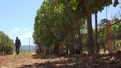 An-Elderly-Farmer-Inspects-His-Grape-Vines-In-A-Vineyard-Ranch-Near-Lompoc-California-1